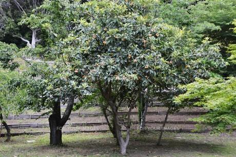 ビワ(枇杷) ・ 桃栗三年柿八年 枇杷は早くて十三年の写真素材 [FYI01200440]