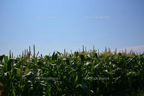 トウモロコシ栽培の写真素材 [FYI01200489]