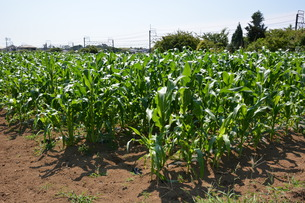 トウモロコシ栽培の写真素材 [FYI01200491]