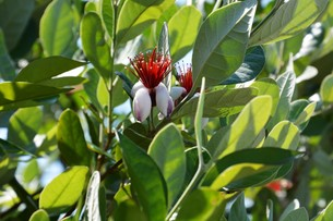 フェイジョアの花 ・ 南米原産のトロピカルフルーツの木の写真素材 [FYI01200493]