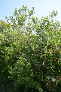 フェイジョアの花 ・ 南米原産のトロピカルフルーツの木の写真素材 [FYI01200496]