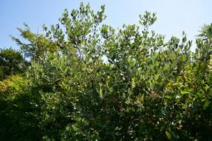 フェイジョアの花 ・ 南米原産のトロピカルフルーツの木の写真素材 [FYI01200497]