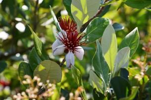 フェイジョアの花 ・ 南米原産のトロピカルフルーツの木の写真素材 [FYI01200499]