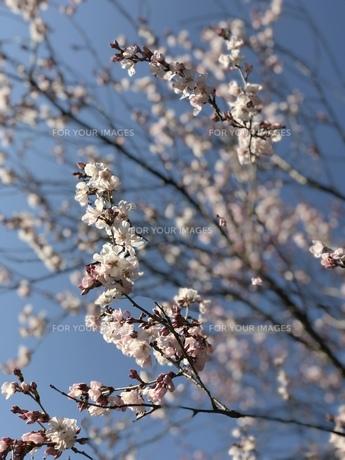 春の花の写真素材 [FYI01200643]