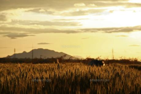 夕陽に染まる麦畑の写真素材 [FYI01200671]