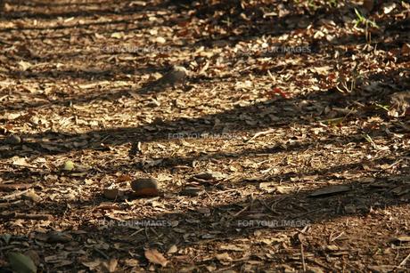 落ち葉の写真素材 [FYI01200707]