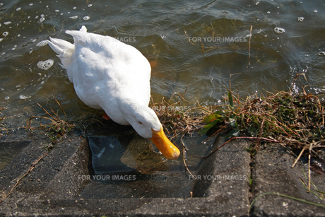 水辺のあひるの写真素材 [FYI01200712]