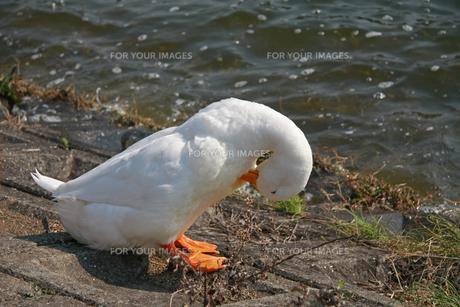 水辺のあひるの写真素材 [FYI01200713]