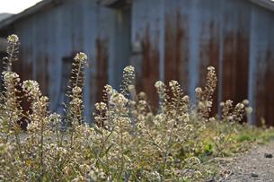 道端のナズナの写真素材 [FYI01200719]