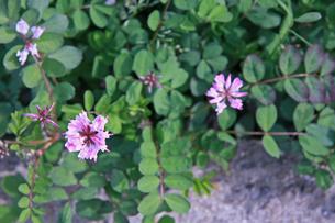 れんげそう 畑の写真素材 [FYI01200730]