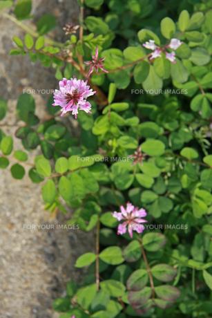 れんげそう 畑の写真素材 [FYI01200731]