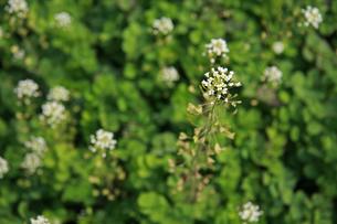 ナズナ 畑の写真素材 [FYI01200733]