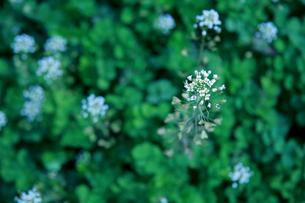 ナズナ 畑の写真素材 [FYI01200734]
