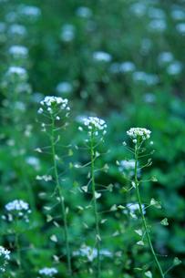 ナズナ 畑の写真素材 [FYI01200735]