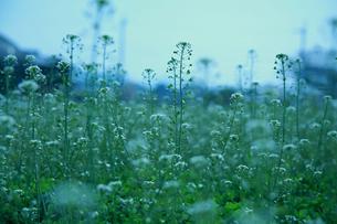 ナズナ 畑の写真素材 [FYI01200736]