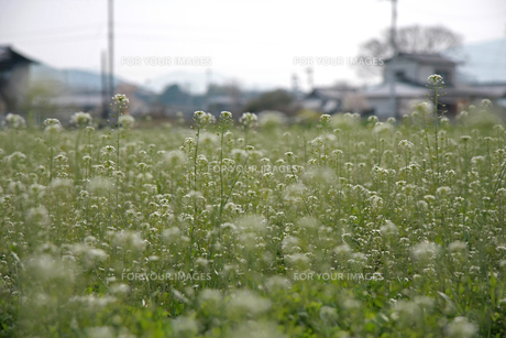 ナズナ 畑の写真素材 [FYI01200737]