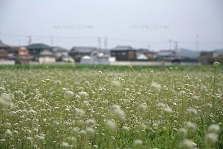 ナズナ 畑の写真素材 [FYI01200738]