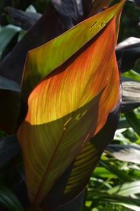 カンナの葉 ・ 葉脈の透過光の美しさの写真素材 [FYI01200747]