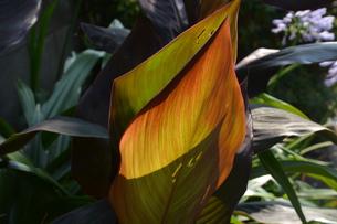 カンナの葉 ・ 葉脈の透過光の美しさの写真素材 [FYI01200748]
