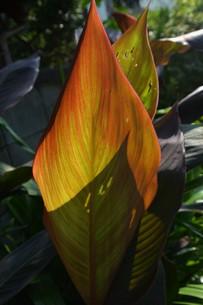 カンナの葉 ・ 葉脈の透過光の美しさの写真素材 [FYI01200751]