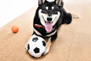 黒い柴犬の写真素材 [FYI01200753]