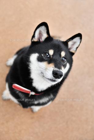 黒い柴犬の写真素材 [FYI01200754]