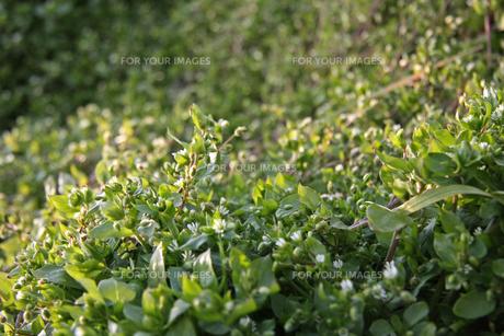 雑草の写真素材 [FYI01200757]