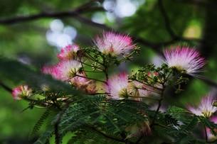 ネムの花 ・ 昼は咲き夜は恋ひ寝る合歓木の花…の写真素材 [FYI01200796]