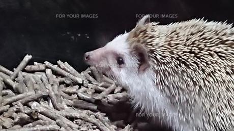 ハリネズミの写真素材 [FYI01200804]