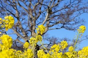 菜の花咲くの写真素材 [FYI01200882]
