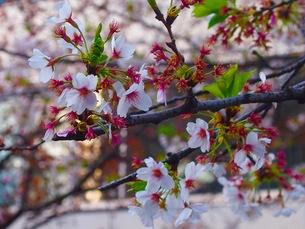 桜の写真素材 [FYI01200889]