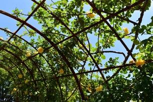 花のトンネルの写真素材 [FYI01201110]
