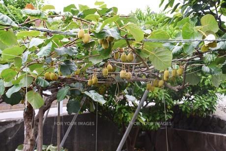キウイフルーツ栽培の写真素材 [FYI01201361]