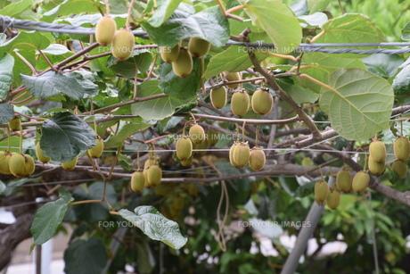 キウイフルーツ栽培の写真素材 [FYI01201363]