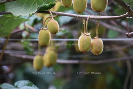 キウイフルーツ栽培の写真素材 [FYI01201365]