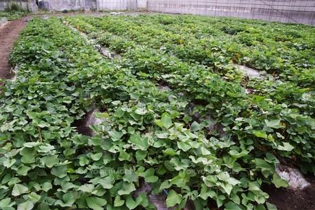 サツマイモ栽培 ・ デンプン豊富なエネルギー源の写真素材 [FYI01201411]