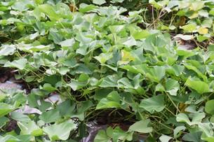 サツマイモ栽培 ・ デンプン豊富なエネルギー源の写真素材 [FYI01201412]