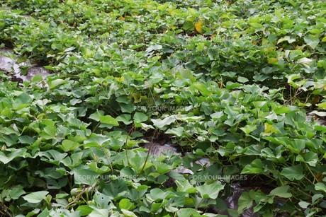 サツマイモ栽培 ・ デンプン豊富なエネルギー源の写真素材 [FYI01201413]