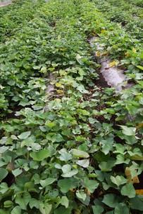 サツマイモ栽培 ・ デンプン豊富なエネルギー源の写真素材 [FYI01201414]
