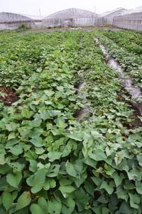 サツマイモ栽培 ・ デンプン豊富なエネルギー源の写真素材 [FYI01201416]