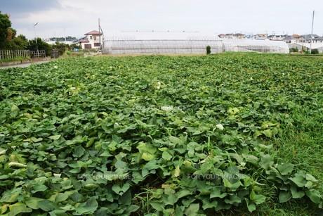 サツマイモ栽培 ・ デンプン豊富なエネルギー源の写真素材 [FYI01201417]