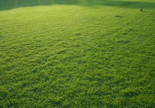 芝生を歩く一羽のカモの写真素材 [FYI01201438]