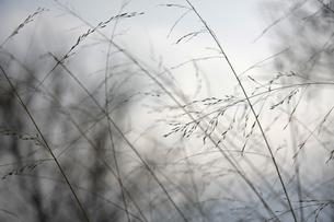 すすきの写真素材 [FYI01201480]