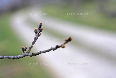 新芽の写真素材 [FYI01201551]
