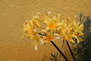 ヒガンバナ(彼岸花)の写真素材 [FYI01201666]