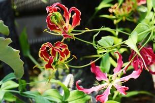 """鮮やかに波打つ花びら """"グロリオサ"""" / Glory lily(栄光のユリ)Fire lily(炎のユリ)の写真素材 [FYI01201920]"""