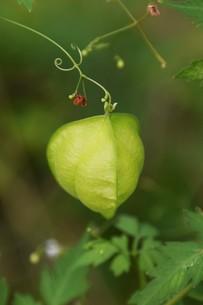 緑のカーテン フウセンカズラ(風船葛)・ 暑い午後 風に揺れ涼感を誘う…の写真素材 [FYI01202109]