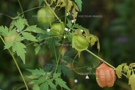 緑のカーテン フウセンカズラ(風船葛)・ 暑い午後 風に揺れ涼感を誘う…の写真素材 [FYI01202110]