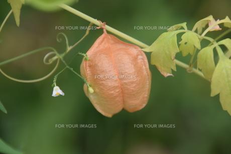 緑のカーテン フウセンカズラ(風船葛)・ 暑い午後 風に揺れ涼感を誘う…の写真素材 [FYI01202111]