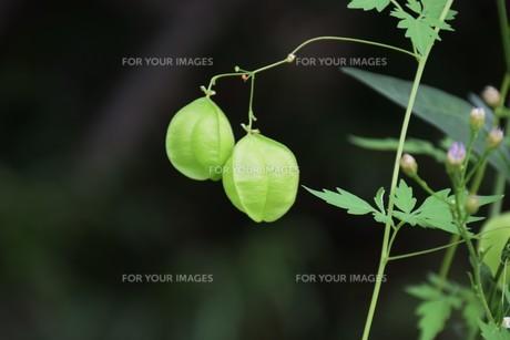 緑のカーテン フウセンカズラ(風船葛)・ 暑い午後 風に揺れ涼感を誘う…の写真素材 [FYI01202113]
